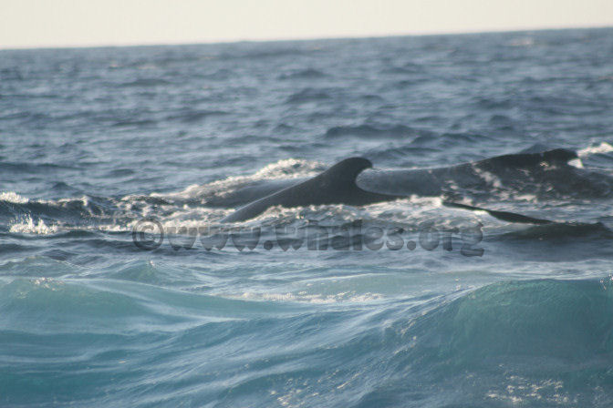 humpback whale in water off Salt Cay, Turks & Caicos Islands